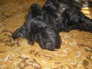 очаровательных щенков ризеншнауцера